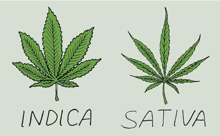 cannabis indica e sativa