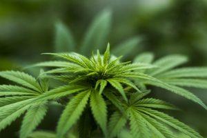 cannabis_800x533
